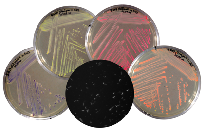 Expression and synthesis of different fluorescent proteins by a probiotic E. coli